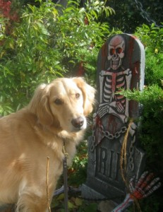 Honey the golden retriever sees a Halloween ghoul.