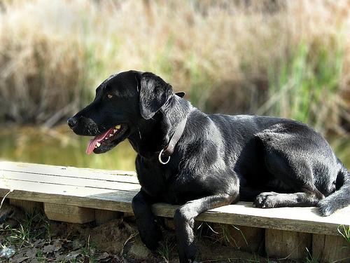 Labrador retriever lounging near the water.