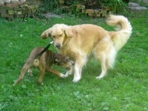 Honey the golden retriever plays with Oliver the foster puppy.