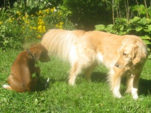 Oliver the foster puppy looks at the tail of Honey the golden retriever.