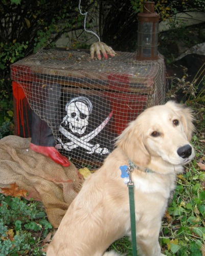 Honey the golden retriever puppies poses on Halloween.