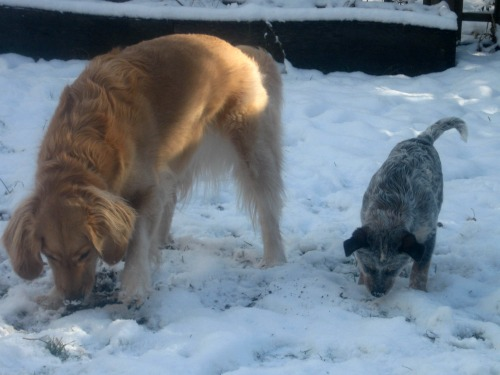 Zoe the puppy sniffs the snow with Honey the golden retriever.