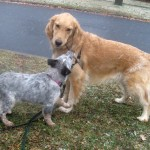 Honey the golden retriever plays with Zoe the foster puppy.