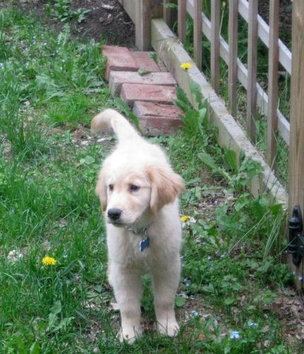 Honey the golden retriever puppy stands near a fence.