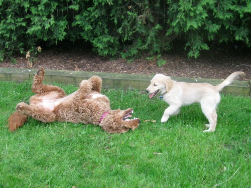 Honey the golden retriever puppy plays with Toshi the doodle.
