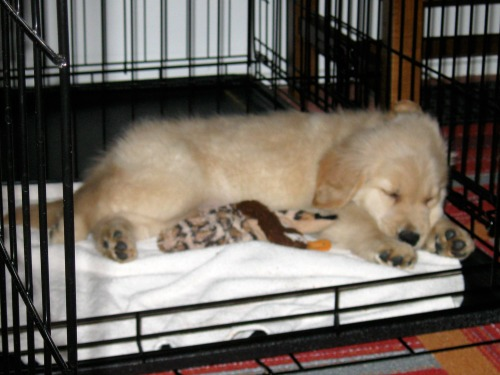 Honey the golden retriever puppy in her crate.