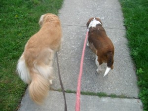 Honey the golden retriever walking with foster dog Blanche.