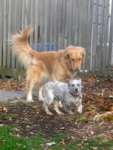Honey the golden retriever cares for Zoe the foster puppy.