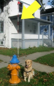 Honey the golden retriever poses with a hydrant.