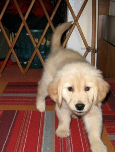 Honey the golden retriever puppy near a baby gate.