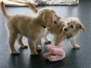 Honey the golden retriever puppy makes a friend at class.
