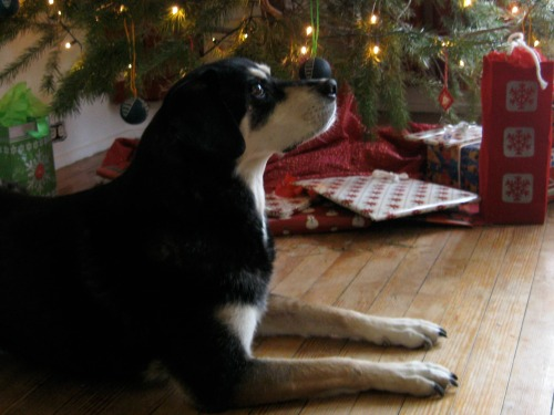 Shadow our lovely senior dog at Christmas.