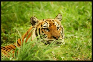 Tiger hunting in the grass.