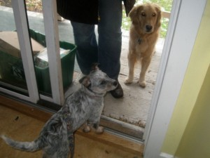 Zoe the foster puppy stands on the porch with Honey the golden retriever.