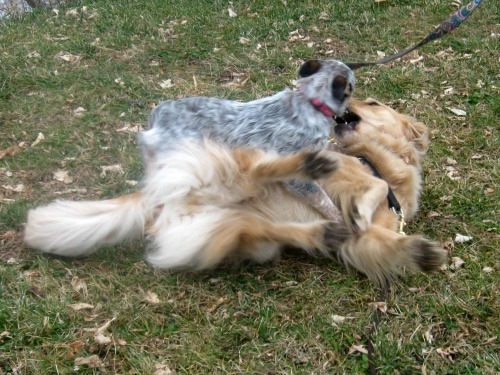 Honey the golden retriever wrestles with Zoe the foster puppy.