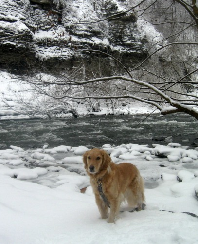 Honey the golden retriever in the snow.