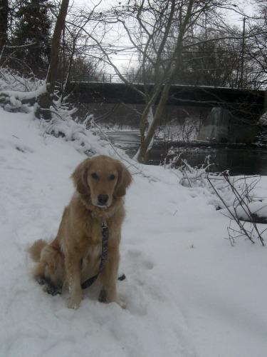 Honey the golden retriever sit in the snow.