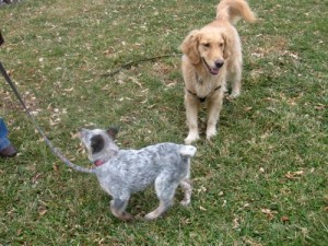 Zoe the Australian Cattle dog foster puppy wags her tail at Honey the golden retriever.