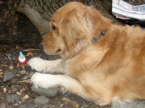 Honey the golden retriever says hello to a gnome.