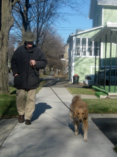 Honey the golden retriever walks on a leash.
