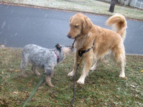 Honey and Zoe tug a stick.