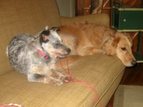Zoe the Australian Cattle Dog puppy sits with Honey the golden retriever.
