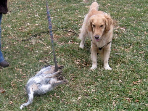 Zoe the cute foster puppy falls over in front of Honey the golden retriever.
