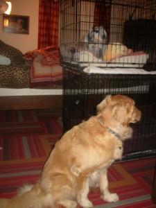 Honey the golden retriever sits near Zoe's crate.