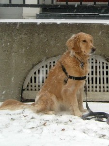 Honey the golden retriever poses without smiling.
