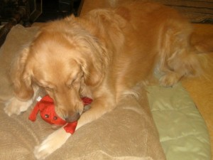 Honey the golden retriever chews on a squeaky toy.