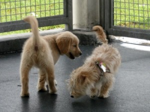 Honey the golden retriever puppy makes a friend.