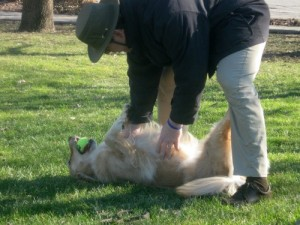 Honey the golden retriever gets her belly rubbed.