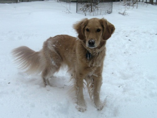 Honey the golden retriever stands in the snow.