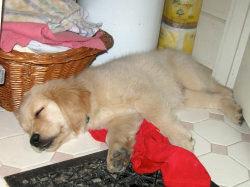 Honey the golden retriever puppy takes a nap in the closet.