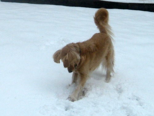 Honey playing in snow