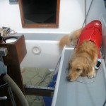 Honey the golden retriever lies in the sailboat cockpit.
