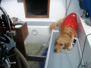 Honey the golden retriever lies in the sailboat cockpit.