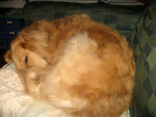 Honey the golden retriever curls up like a pill bug.