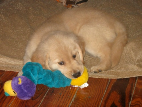 Honey the golden retriever puppy chews on a toy.