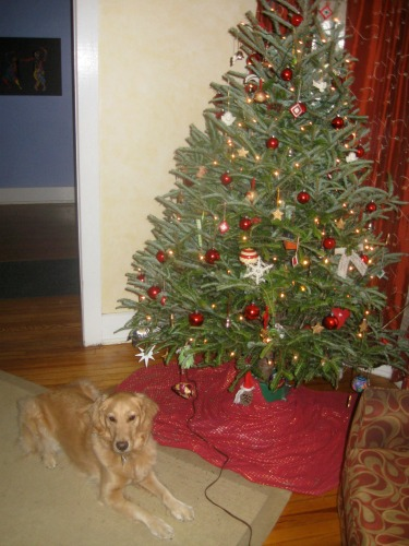 Honey the golden retriever poses under the Christmas tree.