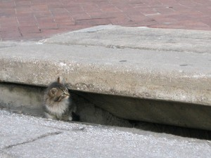 Kitten lives in storm sewer.