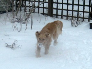 Honey the golden retriever loves to play in the snow.