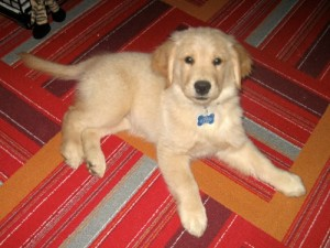 Honey the golden retriever was a cute puppy.