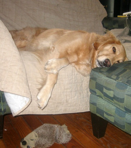 Honey the golden retriever is exhausted.