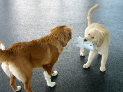 Honey plays with a duck tolling retriever at puppy kindergarten.