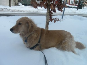 Honey the golden retriever in snow.