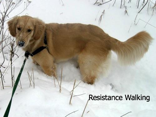 Honey the golden retriever walks in deep snow.