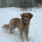 10 Best Reasons To Have A Golden Retriever In The Snow