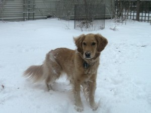 Honey the golden retriever looks at the snowy yard.