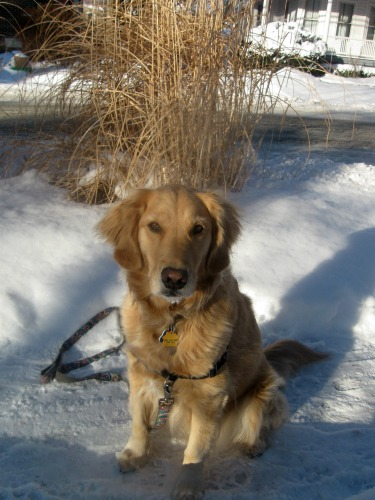 Honey the golden retriever poses on a snowy day.